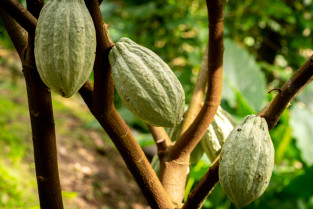 cacao fruit beurre
