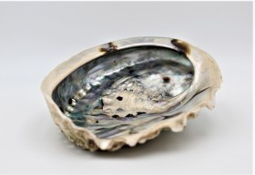 abalone1 coquillage d'ormeau