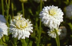 """Résultat de recherche d'images pour """"camomille noble fleurs"""""""