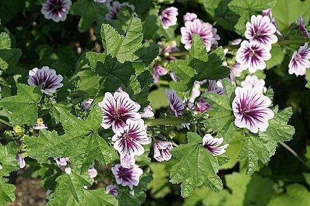 Fleurs de mauve en vrac pour tisane et infusion - Infusion de malva ...