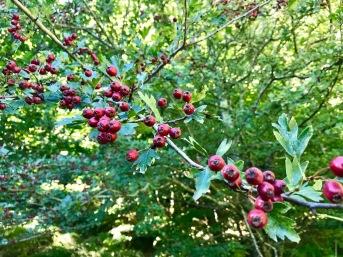 aubépine fruits à camps sur agly 11